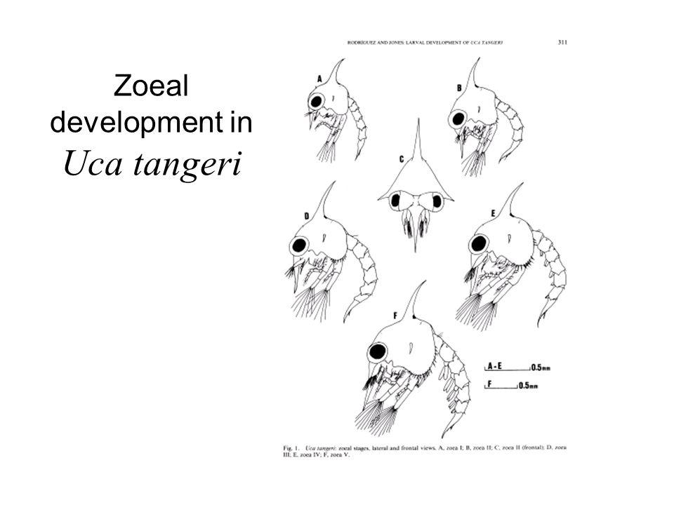 Zoeal development in Uca tangeri