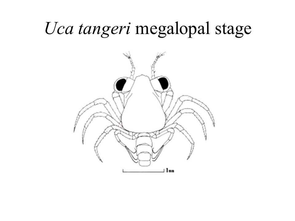 Uca tangeri megalopal stage