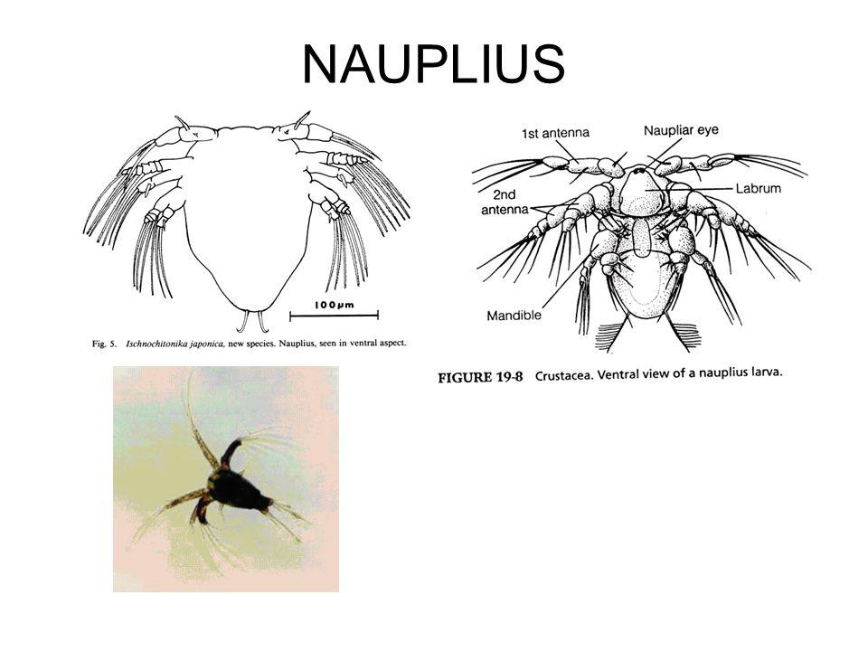 NAUPLIUS