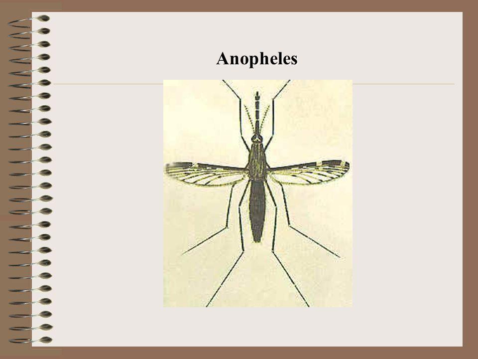 Anopheles