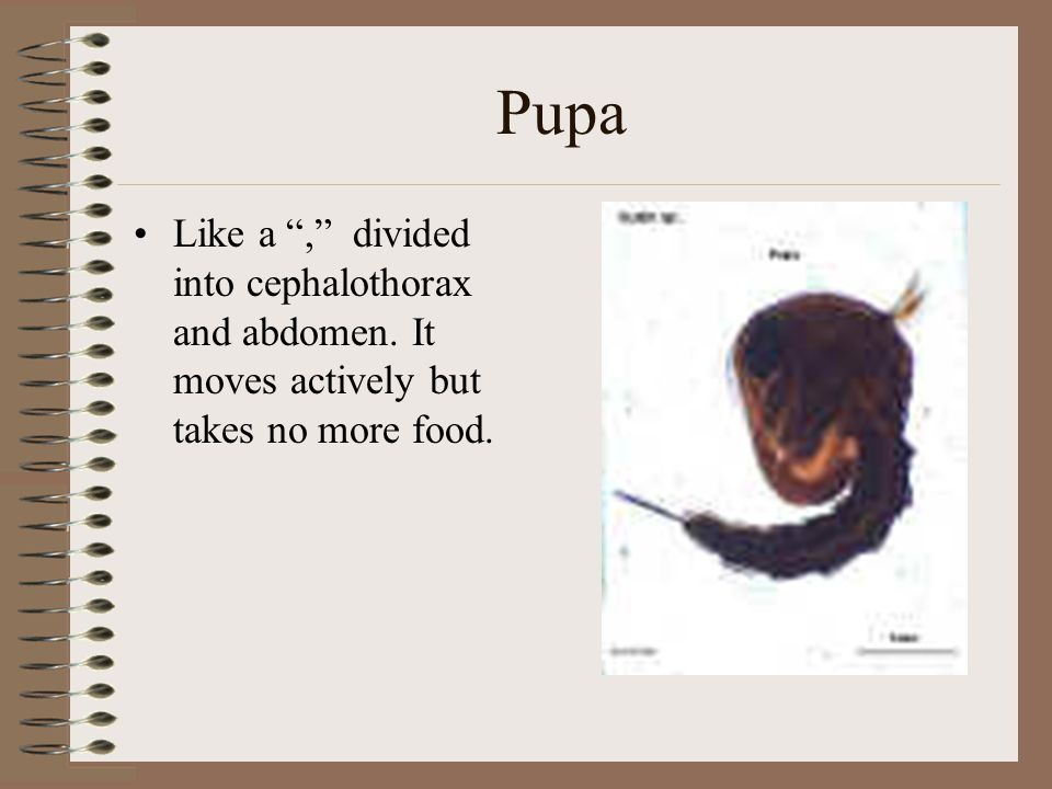 Pupa Like a , divided into cephalothorax and abdomen. It moves actively but takes no more food.