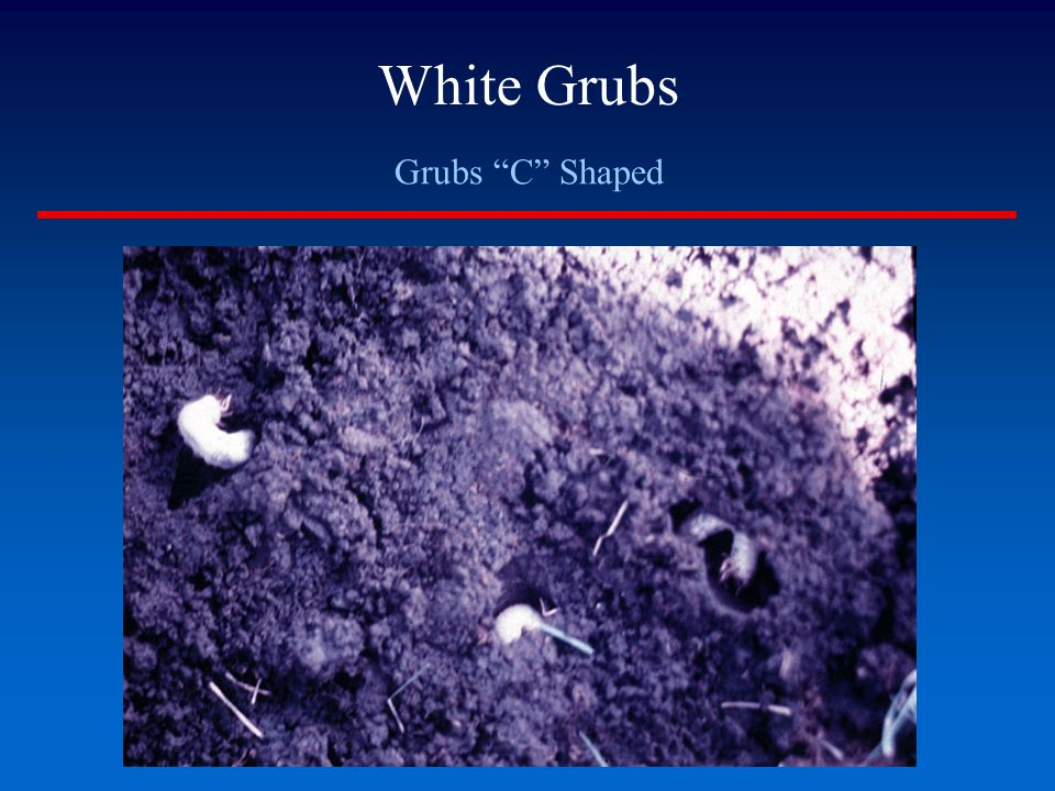 White Grubs Grubs C Shaped