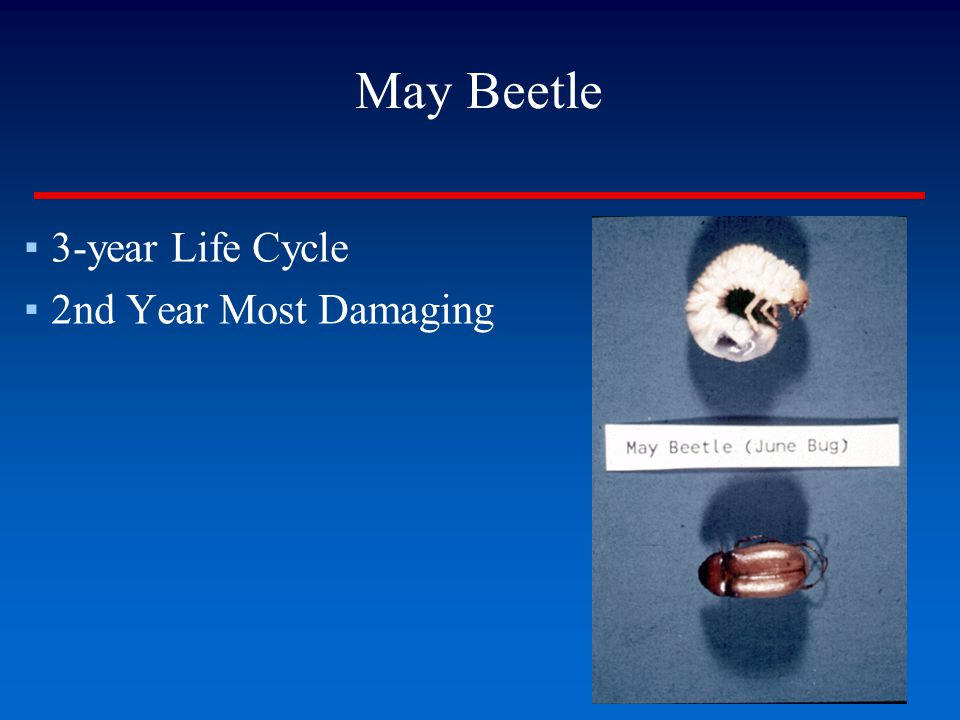 May Beetle 3-year Life Cycle 2nd Year Most Damaging