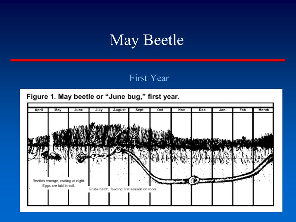 May Beetle First Year