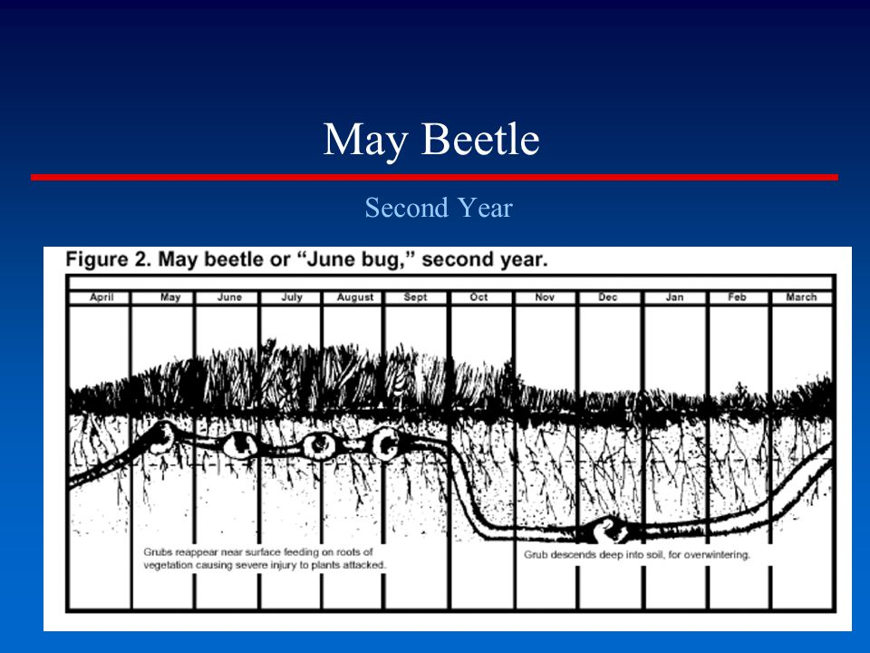 May Beetle Second Year