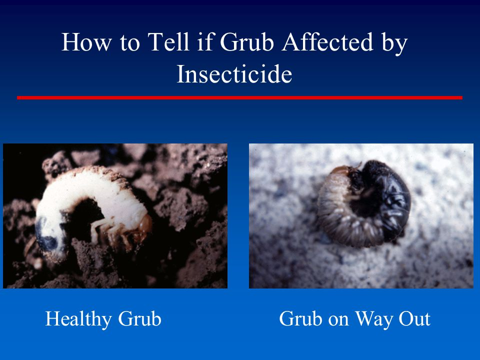 How to Tell if Grub Affected by Insecticide