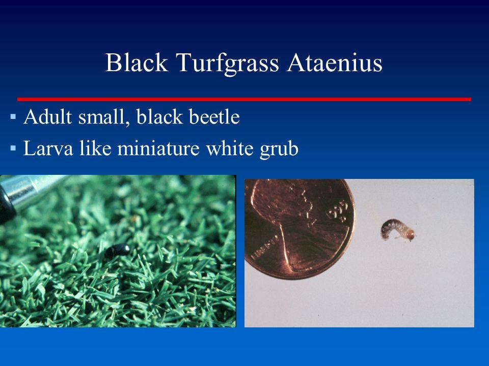Black Turfgrass Ataenius