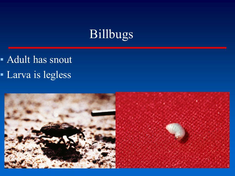 Billbugs Adult has snout Larva is legless