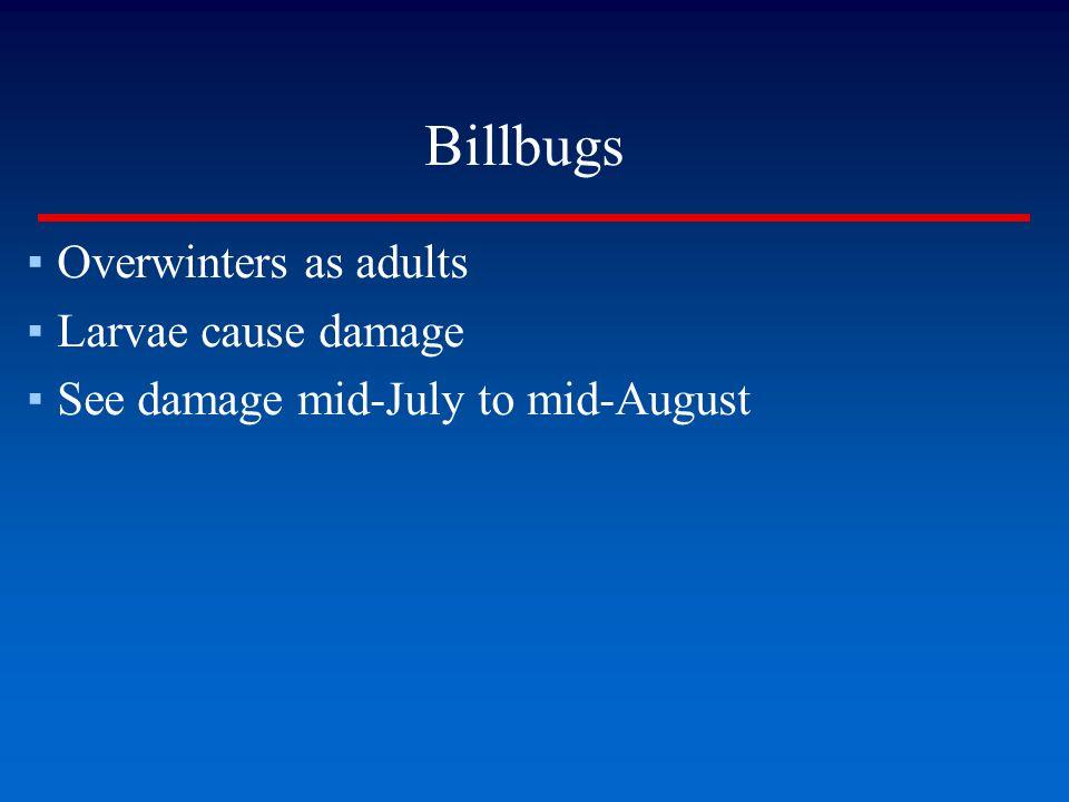 Billbugs Overwinters as adults Larvae cause damage
