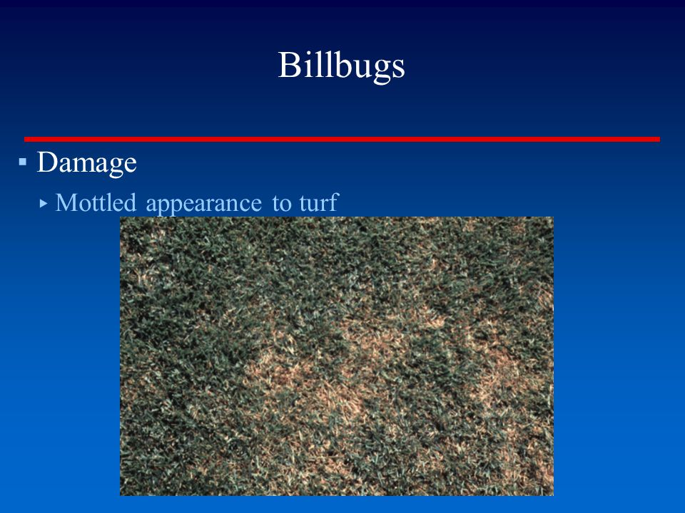 Billbugs Damage Mottled appearance to turf