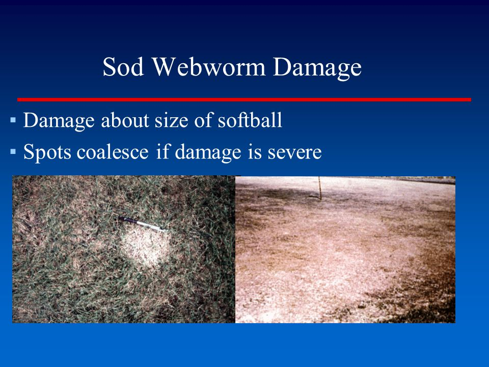 Sod Webworm Damage Damage about size of softball
