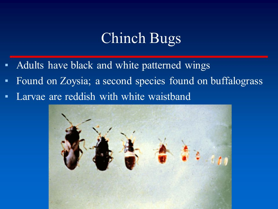 Chinch Bugs Adults have black and white patterned wings