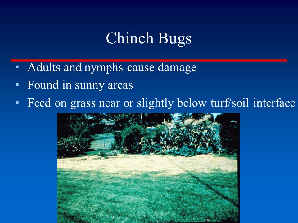 Chinch Bugs Adults and nymphs cause damage Found in sunny areas