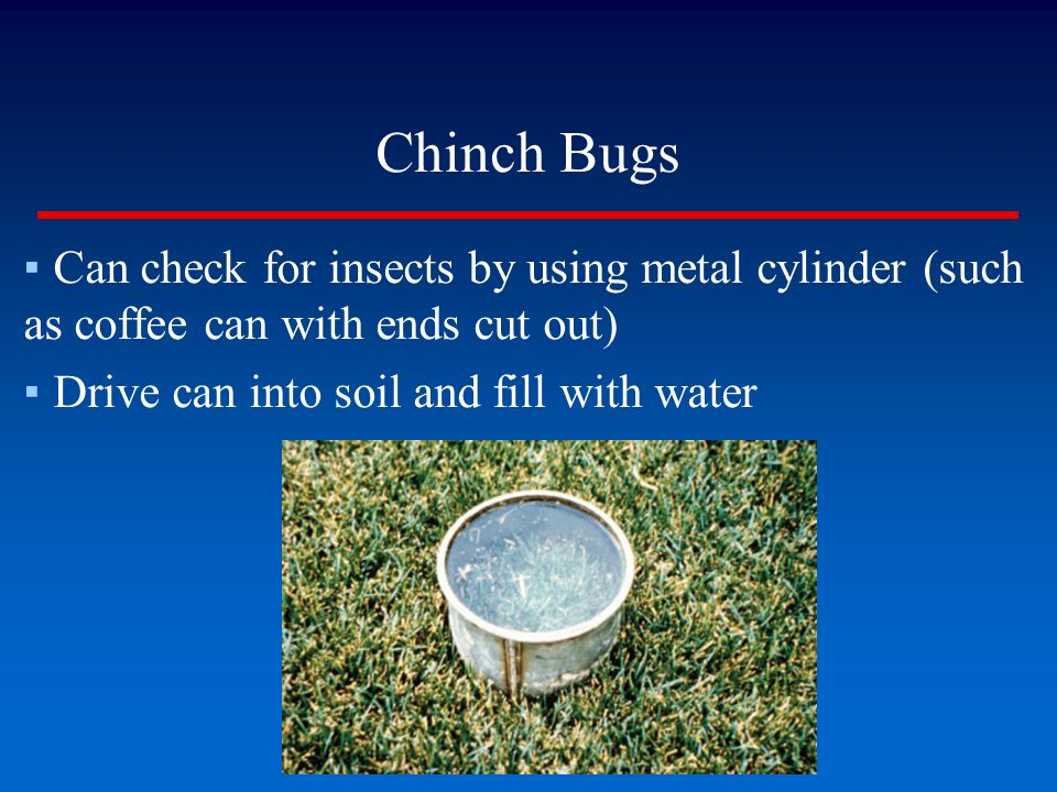 Chinch Bugs Can check for insects by using metal cylinder (such as coffee can with ends cut out) Drive can into soil and fill with water.