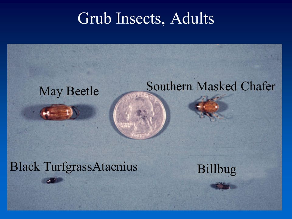 Grub Insects, Adults Southern Masked Chafer May Beetle