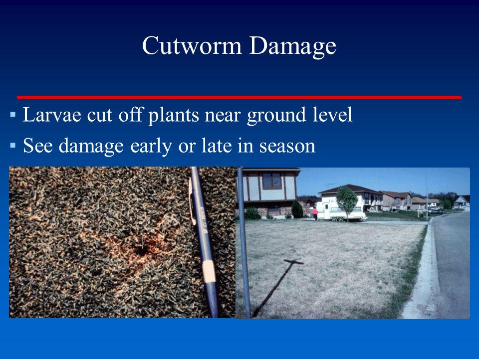 Cutworm Damage Larvae cut off plants near ground level