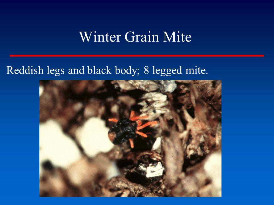 Winter Grain Mite Reddish legs and black body; 8 legged mite.
