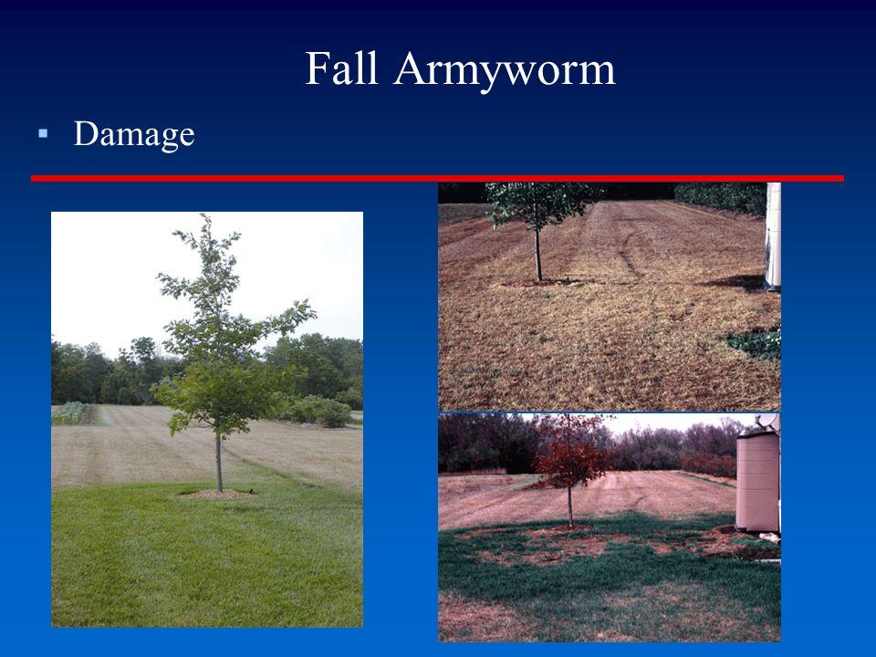 Fall Armyworm Damage