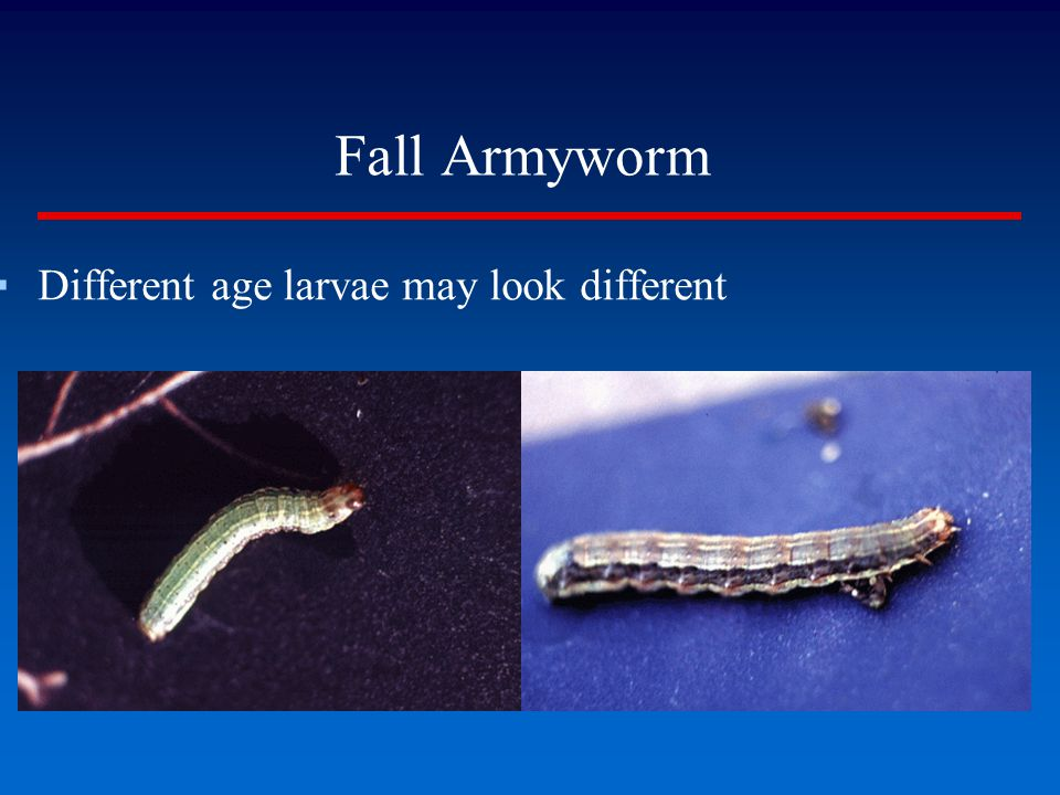 Fall Armyworm Different age larvae may look different