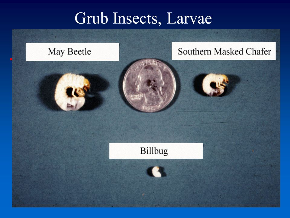Grub Insects, Larvae