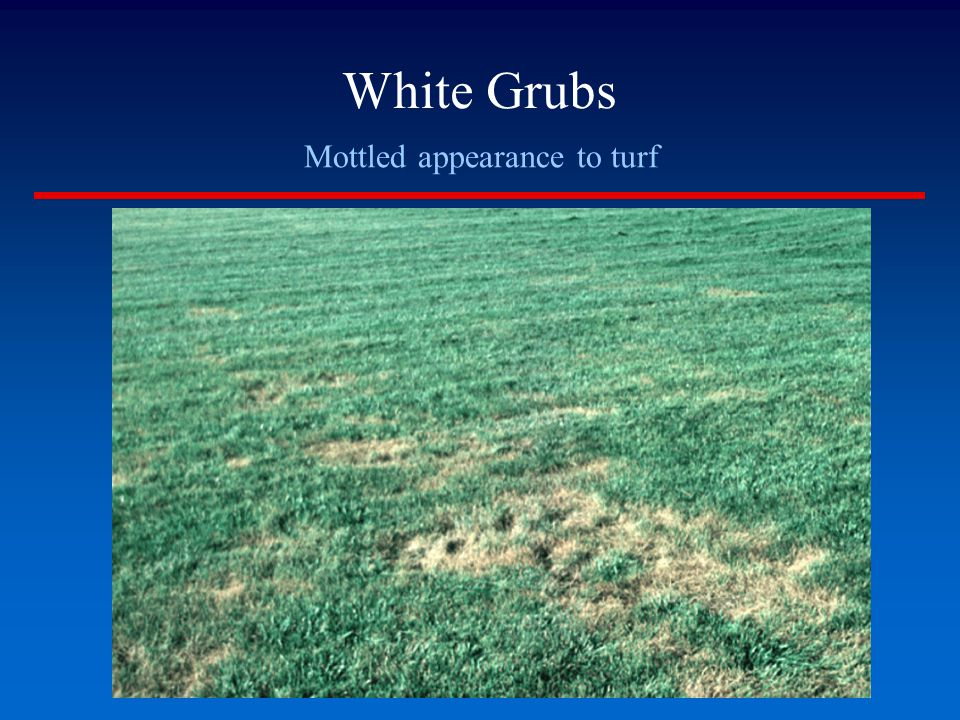 Mottled appearance to turf