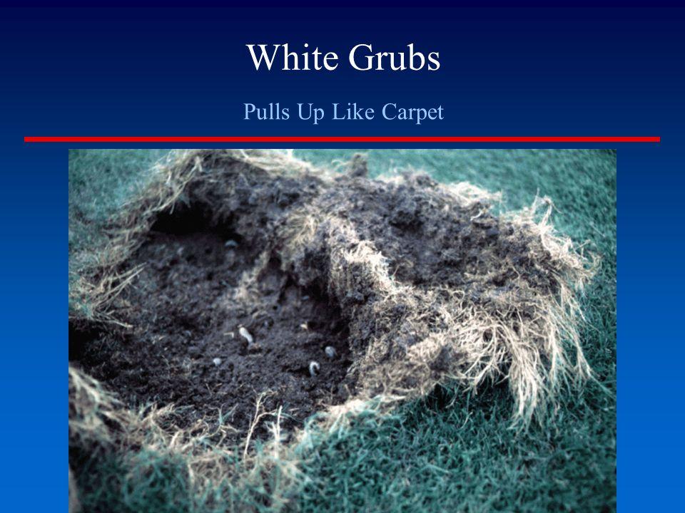 White Grubs Pulls Up Like Carpet