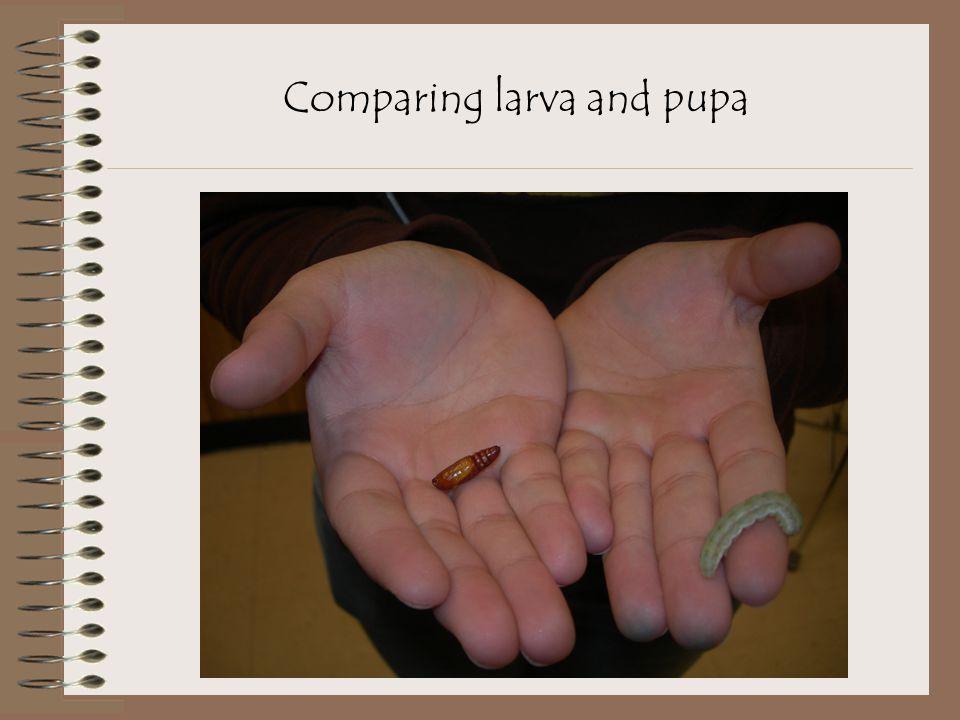 Comparing larva and pupa