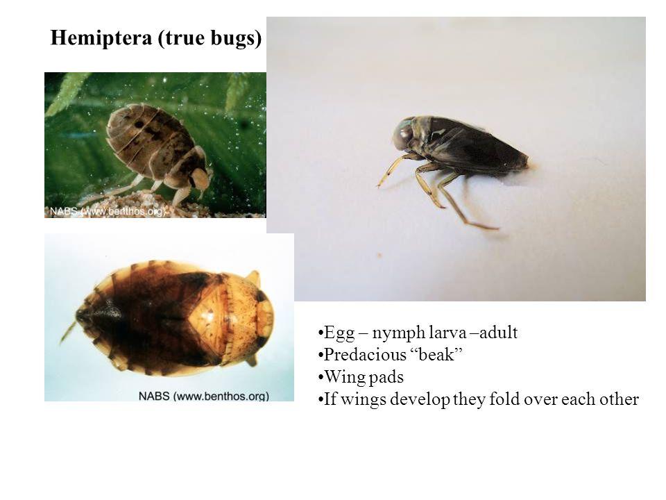 Hemiptera (true bugs) Egg – nymph larva –adult Predacious beak