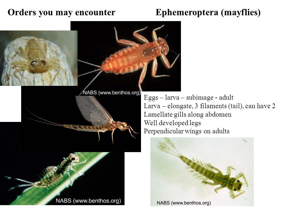 Orders you may encounter Ephemeroptera (mayflies)