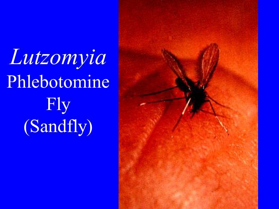 Lutzomyia Phlebotomine Fly (Sandfly)