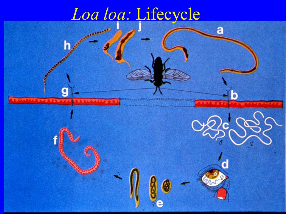 Loa loa: Lifecycle