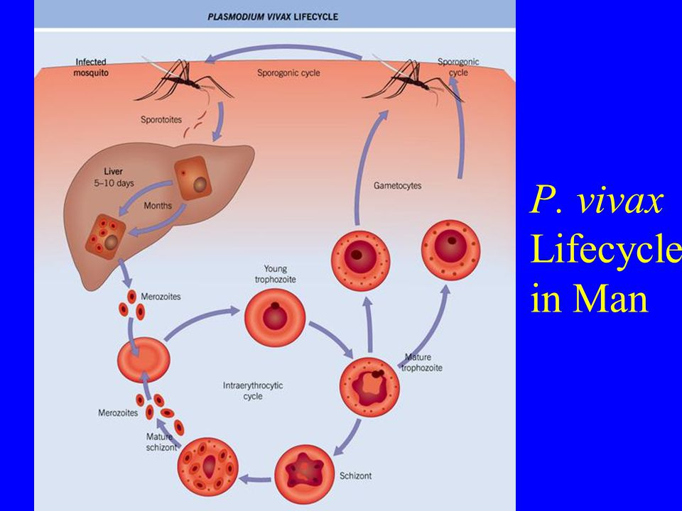 P. vivax Lifecycle in Man