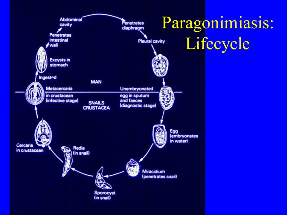 Paragonimiasis: Lifecycle