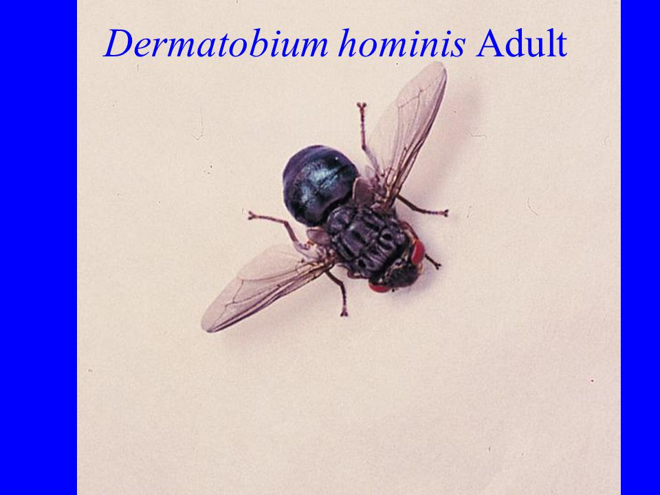 Dermatobium hominis Adult