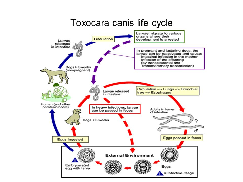 Toxocara canis life cycle