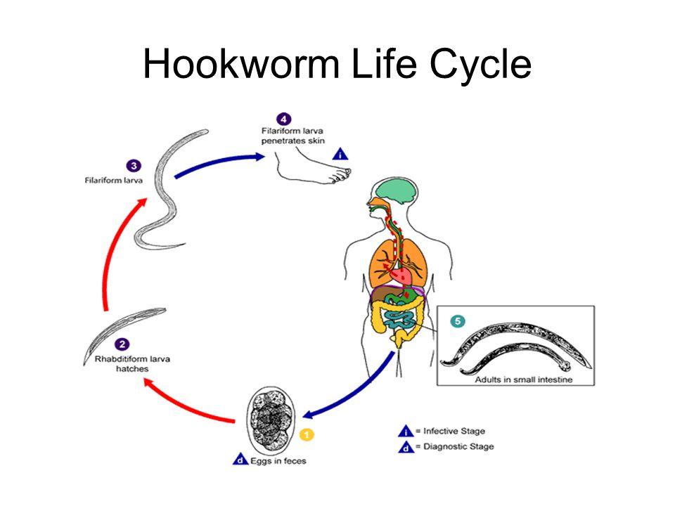 Hookworm Life Cycle