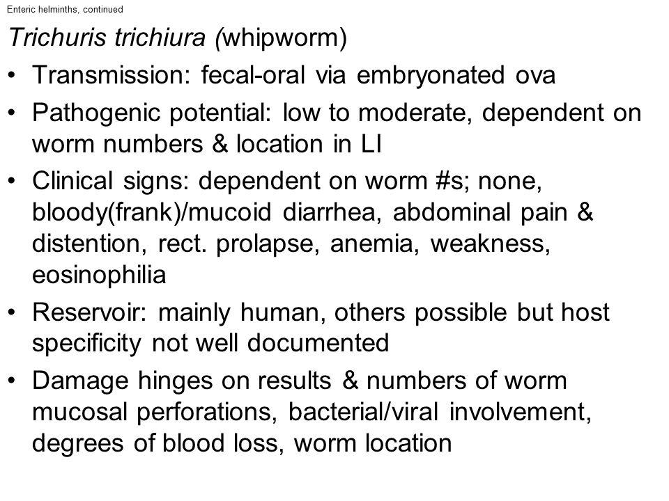 Trichuris trichiura (whipworm)