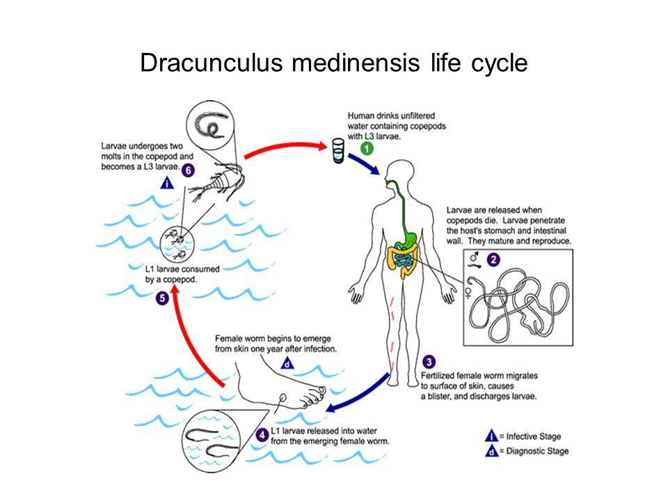 Dracunculus medinensis life cycle