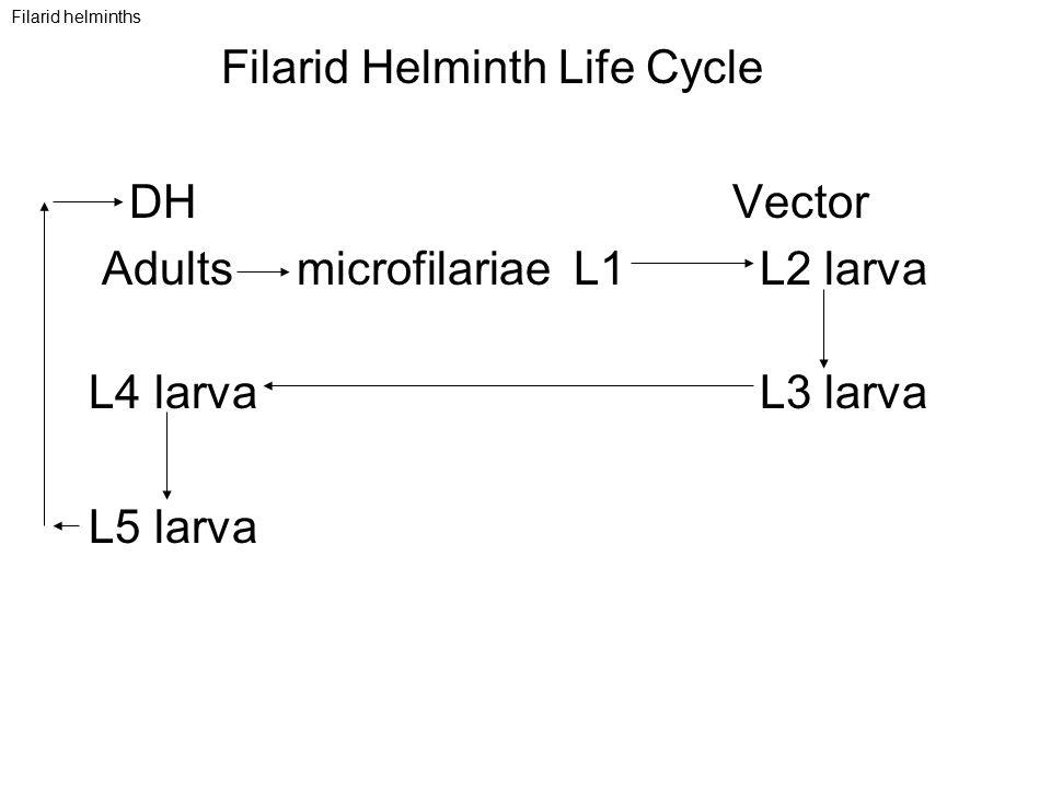 Filarid Helminth Life Cycle DH Vector Adults microfilariae L1 L2 larva