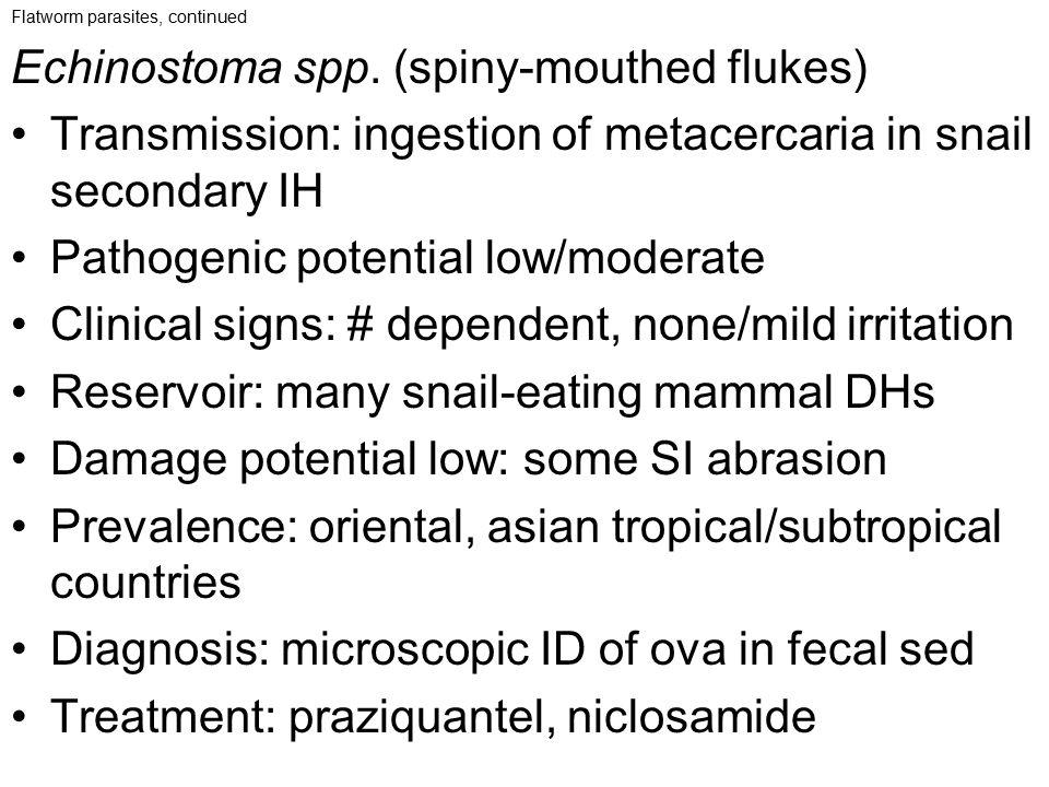 Echinostoma spp. (spiny-mouthed flukes)