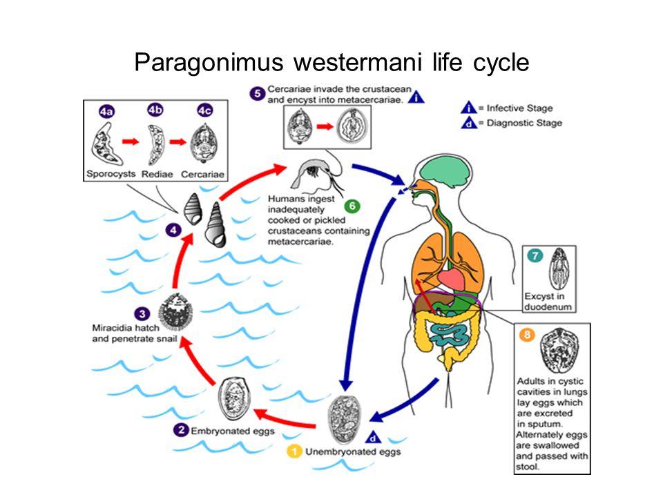 Paragonimus westermani life cycle