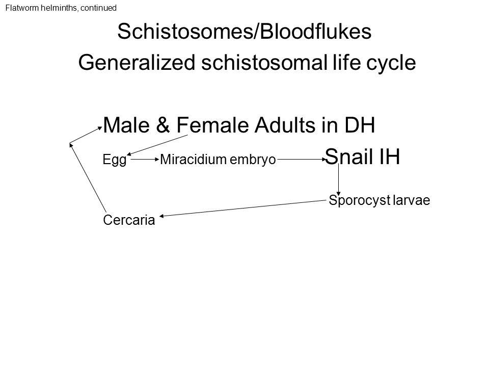 Schistosomes/Bloodflukes