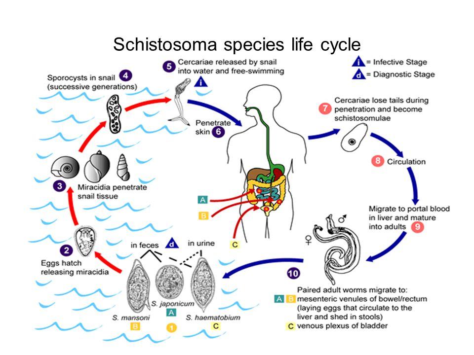Schistosoma species life cycle