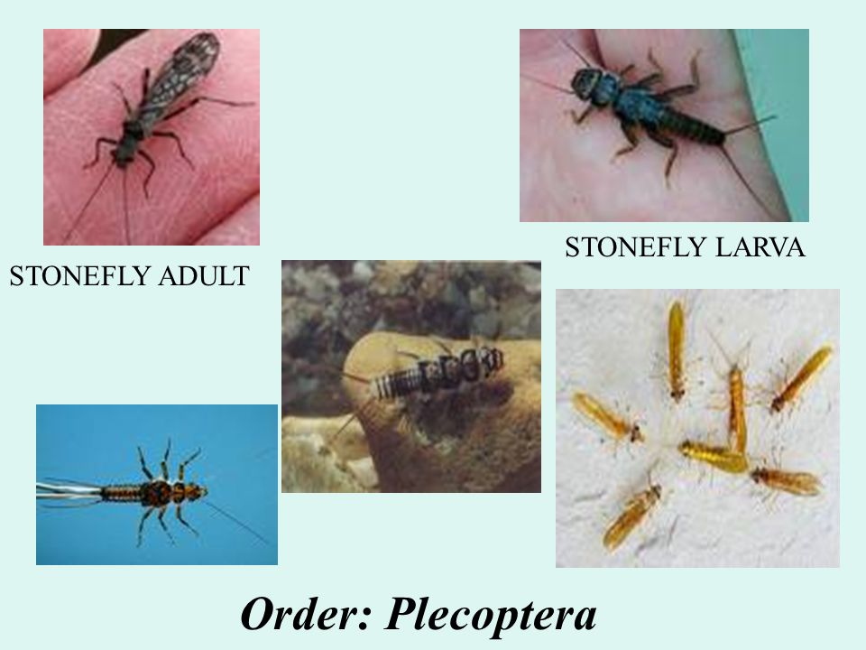 STONEFLY LARVA STONEFLY ADULT Order: Plecoptera