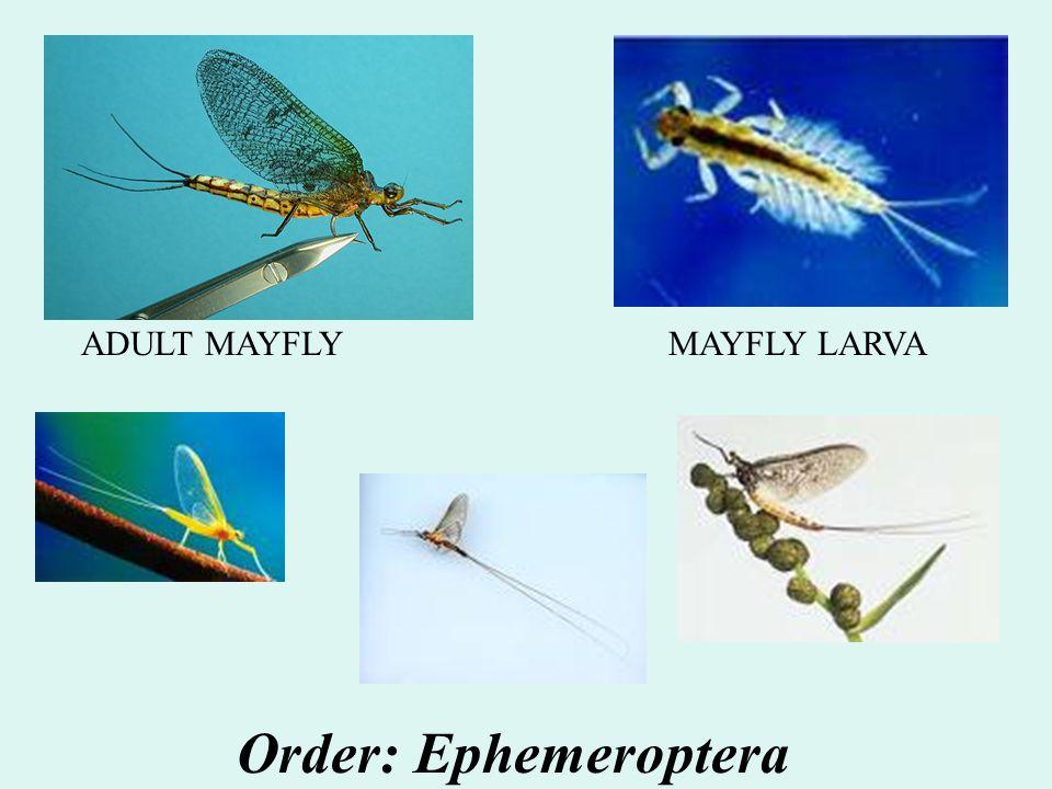 ADULT MAYFLY MAYFLY LARVA Order: Ephemeroptera