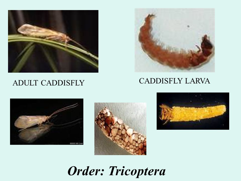 CADDISFLY LARVA ADULT CADDISFLY Order: Tricoptera