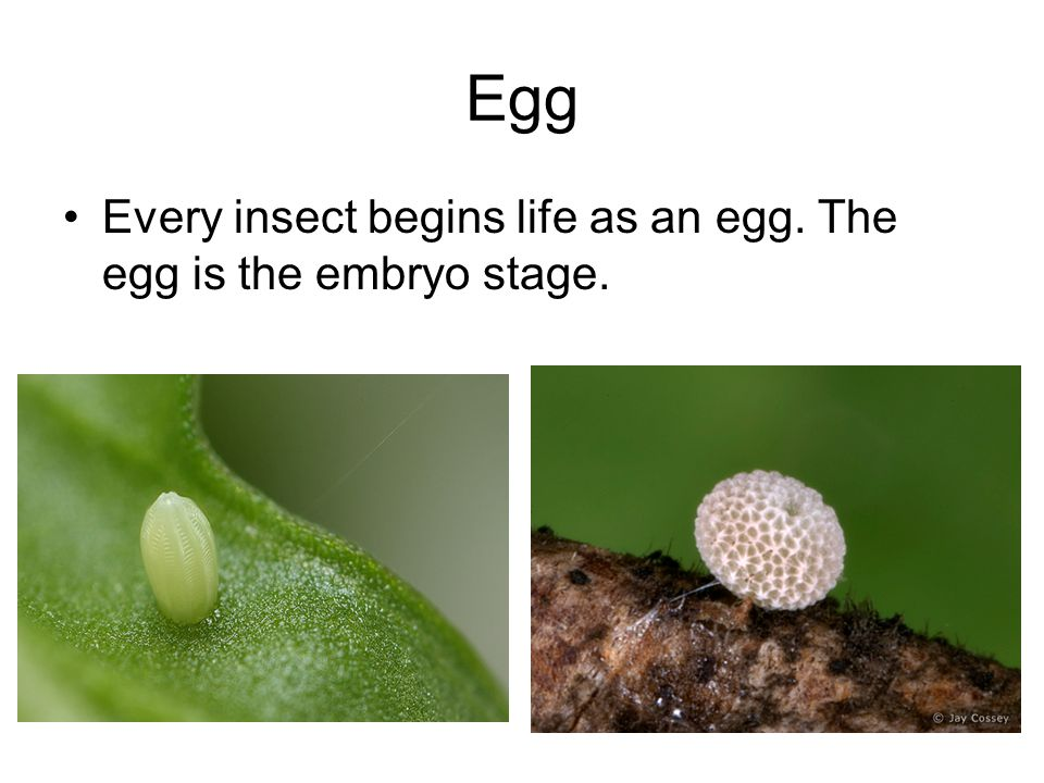 Egg Every insect begins life as an egg. The egg is the embryo stage.