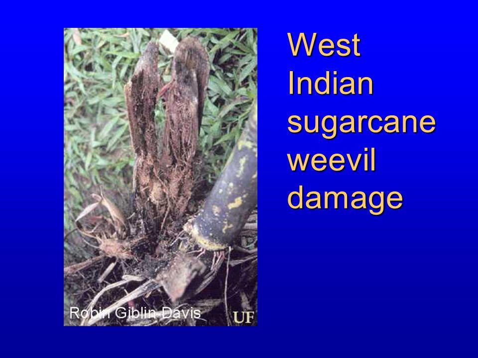 West Indian sugarcane weevil damage