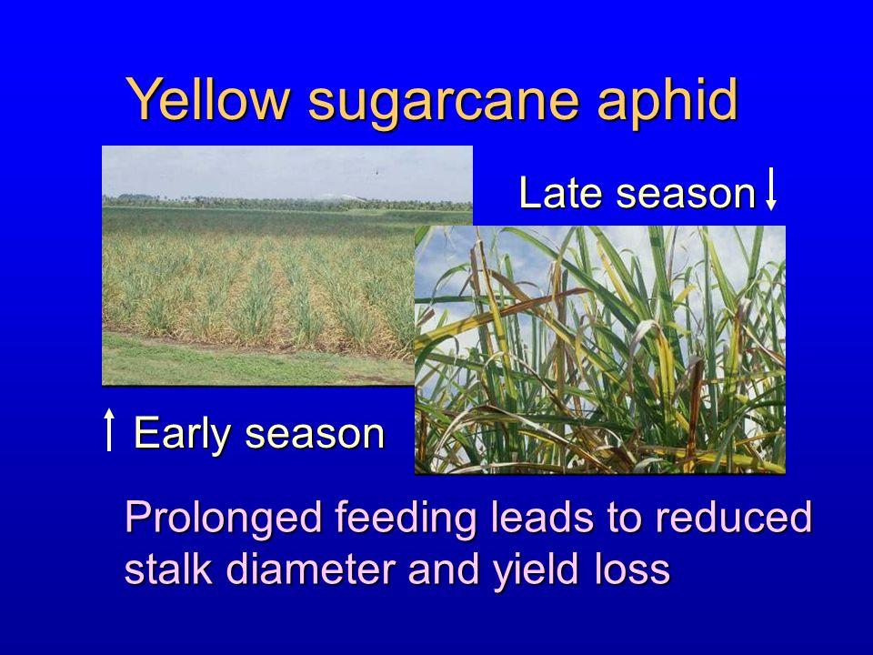 Yellow sugarcane aphid