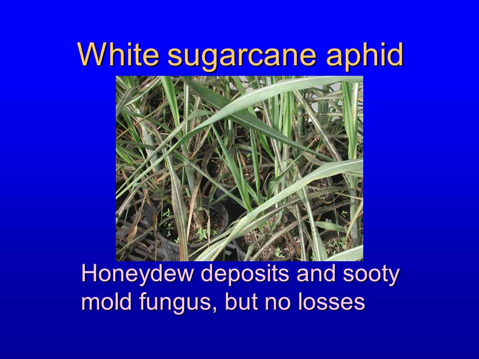 White sugarcane aphid Honeydew deposits and sooty